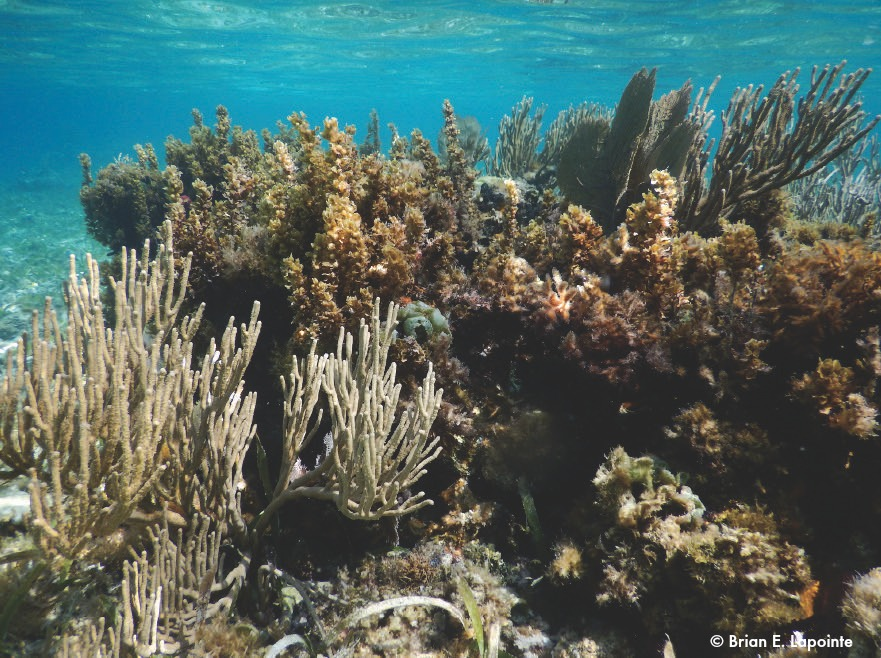 14_Excess of nutrients cause macroalgae proliferation on the reefs, competing with corals for space, macroalge will overgrow them killing them and preventing new