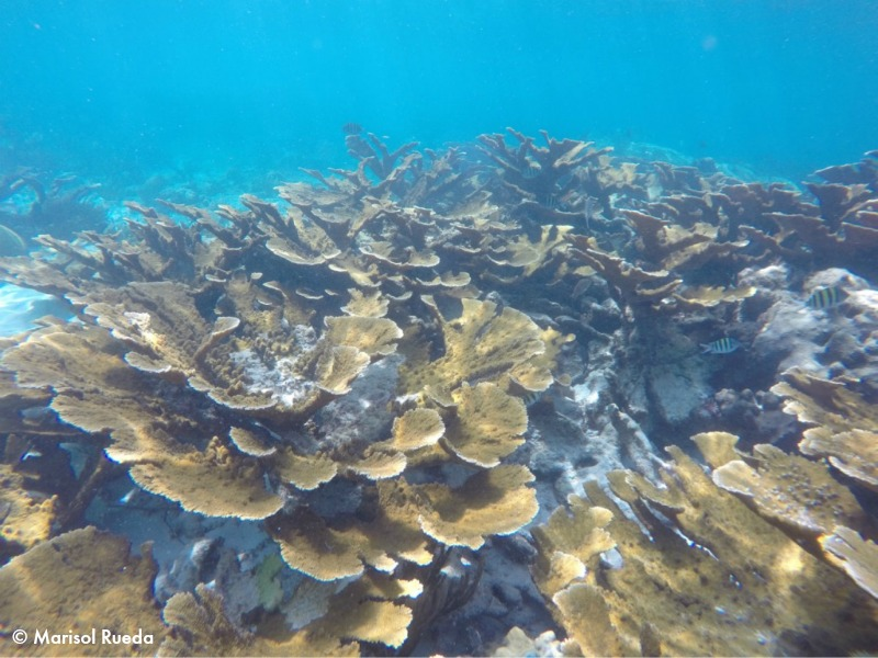 7_Limones is one of the highest cover of elkhorn coral, Acropora palmata, of the entire Caribbean. The ecological importance of this site has convinced the authorities to close it to tourism and fishing, only monitoring and research are now allowed.