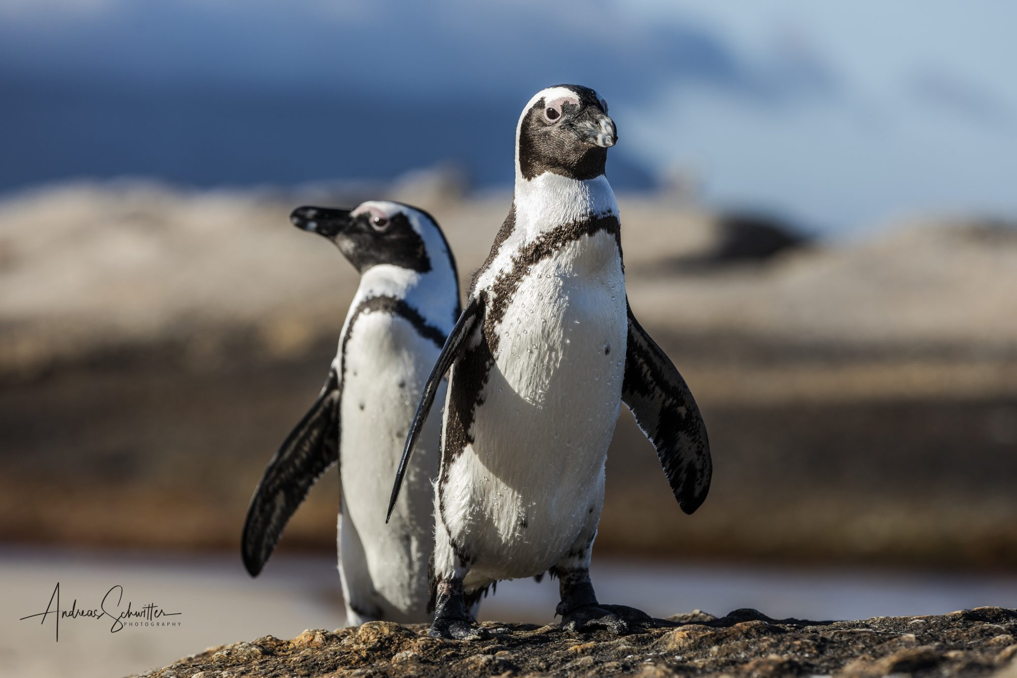 African Penguin (©Andreas Schwitter)