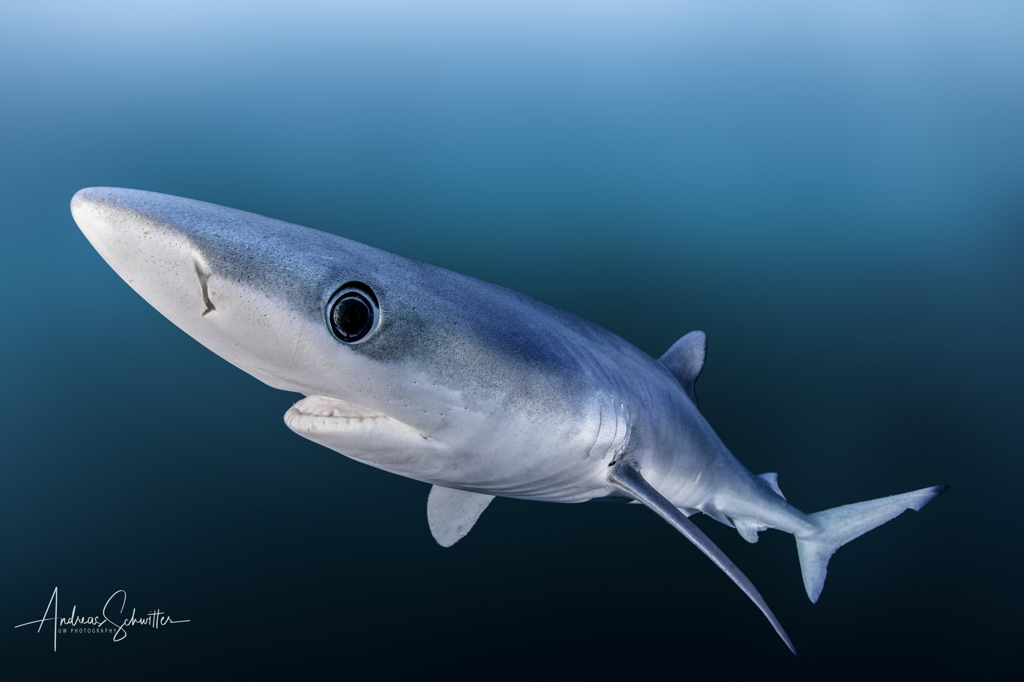 Blue Shark (©Andreas Schwitter)
