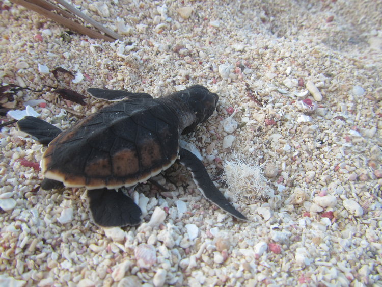 Sea Turtle Conservation Program_1