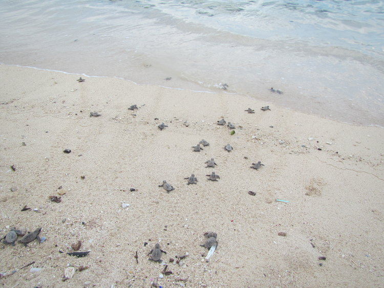 Sea Turtle Conservation Program_4